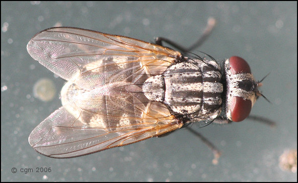 musca autumnalis face fly